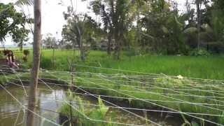 Rice-Fish System
