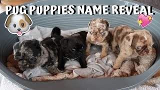 PUG PUPPIES NAME REVEAL!!!*PUG DOG PUPPIES COMPILATION*
