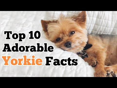 10 Adorable Yorkie Facts (You Didn't Know)