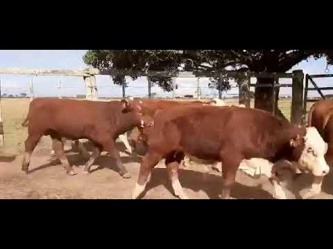 LOTE M02 - 40 TERNEIROS BRAFORD PESO MÉDIO 244 KG - FAZENDA DA VIGIA
