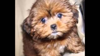 Watch a Shorkie puppy grow :-)