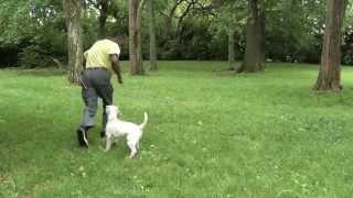 Guy Nashville Dog Trainer 062:training A Miniature Schnauzer Advanced Obedience
