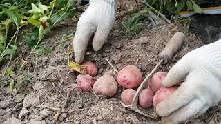 감자 캐는 시기 (적색감자)( 순 자르는 방법에 따라 …