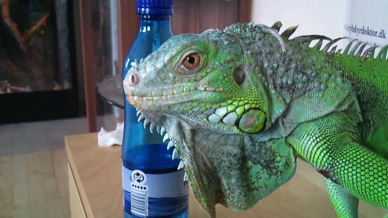 Bay Sofa Repair Chennai Ambattur My Pet Iguana, Legu - Youtube
