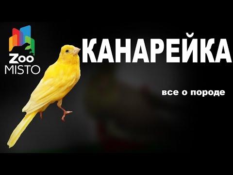 Канарейка - Все о виде птицы | Вид птицы -  канарейка
