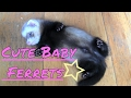 Cute Baby Ferrets...heart Warming!