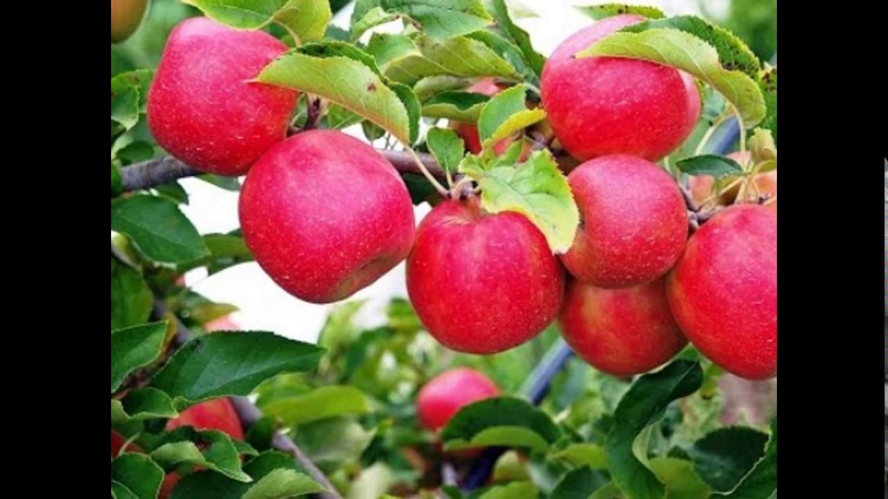 Kashmir Apple In Tree | Apple Garden In Kashmir