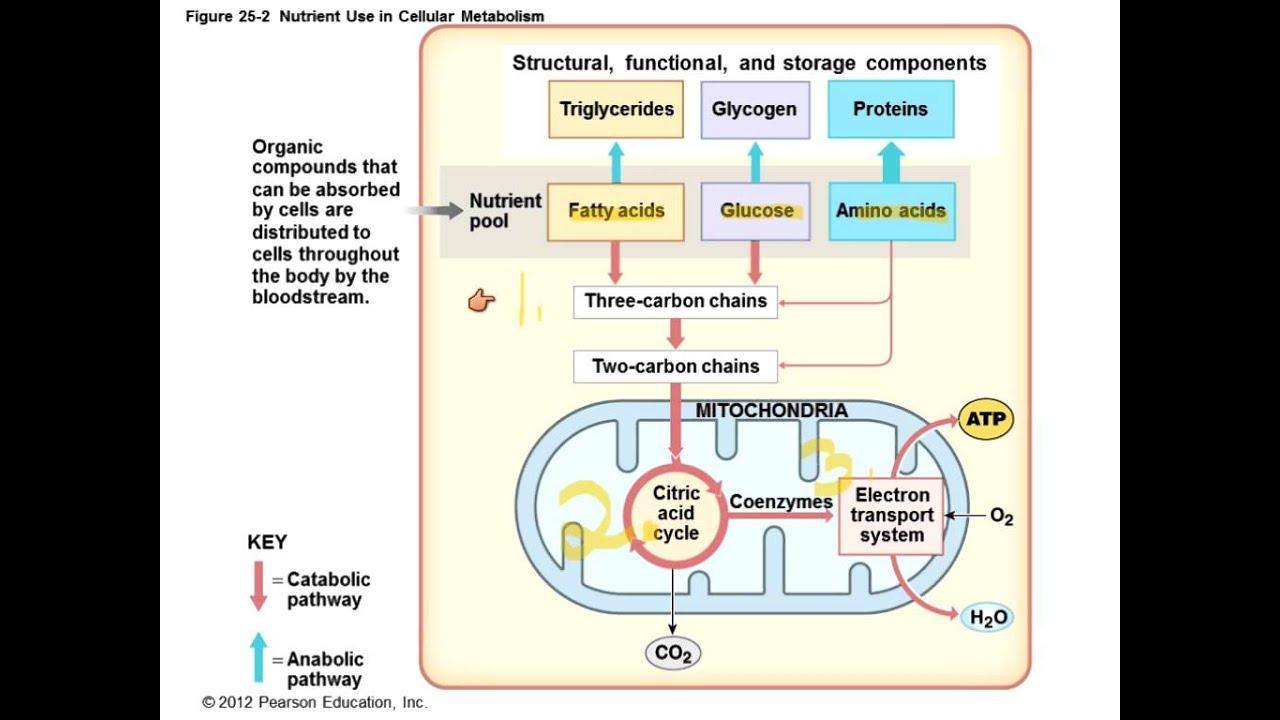 Metabolism Anatomy and Physiology II - YouTube