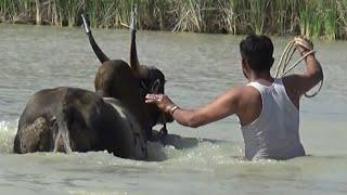 BVS Black Tiger Hallikar Jallikattu bull Swimming at Bukkasagaram !Part 2