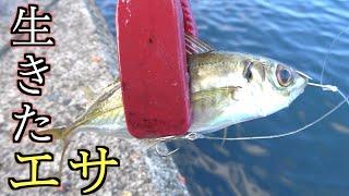 堤防からは釣れないような魚を遂に仕留めた!!