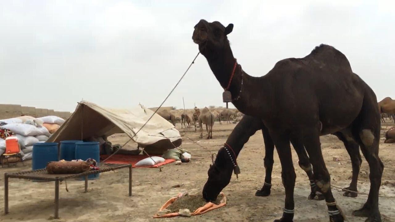 Camel Mandi Price Update | 6 July 2021