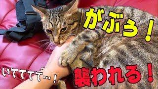 【激痛】テンション上がりまくった猫が飼い主の手をマジ噛み!!