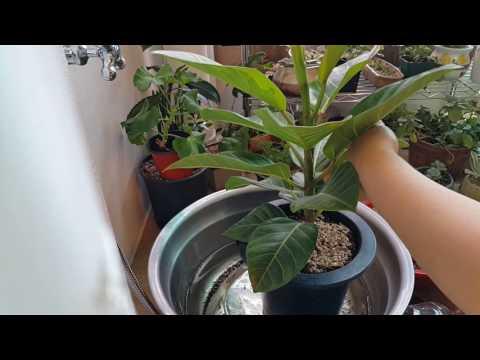 뱅갈 고무나무 (계란껍질 칼슘제주고 물주기)