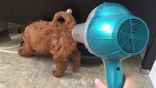 Mini Goldendoodle Puppy First Time With A Hairdryer