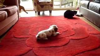 Cat Sits Unmoved By Cavalier King Charles Spaniel Pup