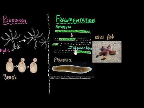 Budding, Spores, Fragmentation & Regeneration | How Do Organisms Reproduce | Biology | Khan Academy