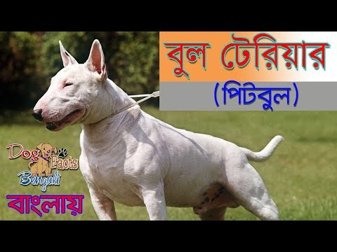 Bull Terrier Dog Facts in Bengali |Popular Dog Facts | Dog Facts Bengali