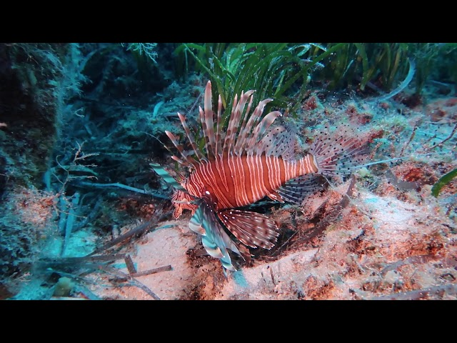 A Pterois miles removal