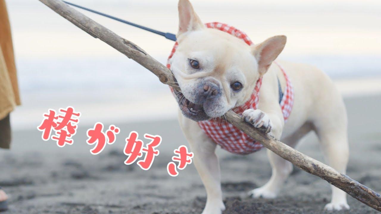 #355 早朝海んぽして犬と棒遊び【フレンチブルドッグのおかか EOSR5】【frenche】