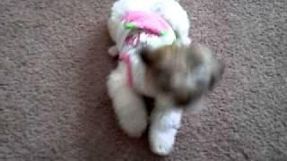 Shih Tzu Dog Doing Tricks