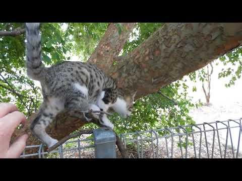 Australian Mist cats like climbing trees at 3mths old