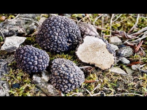 Мицелий (грибница) ТРЮФЕЛЯ ЧЕРНОГО маточный зерновой