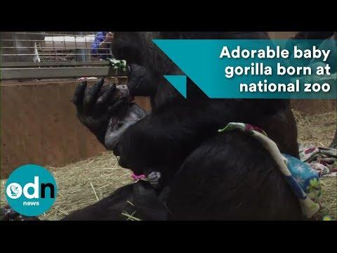 Adorable baby gorilla born at national zoo