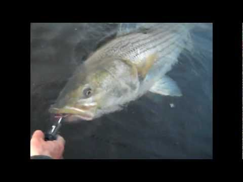 "46"" Striped Bass Caught and Released on the Connecticut River"