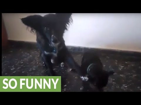 Dog helps out younger brother with cute trick