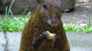 Adorable agouti eating a banana
