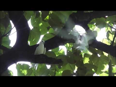 White Tern シロアジサシ