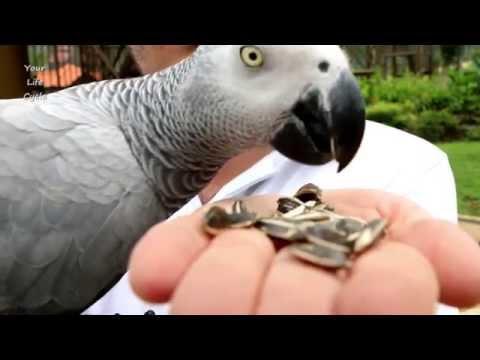 Hand feeding lovely African grey parrot