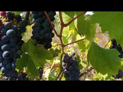 Виноград без химии ЛЕОН МИЙО, ДАМПА, кишмиш КАТАВБА, КАХЕТИНСКИЙ ЧЕРНЫЙ, кишмиш КРАСЕНЬ и т.д!
