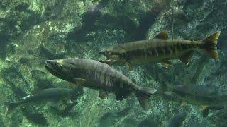 【千歳市】サケのふるさと 千歳水族館