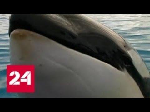 Зоозащитники выступили против отлова касаток и белух в Охотском море - Россия 24 - Смотреть видео онлайн