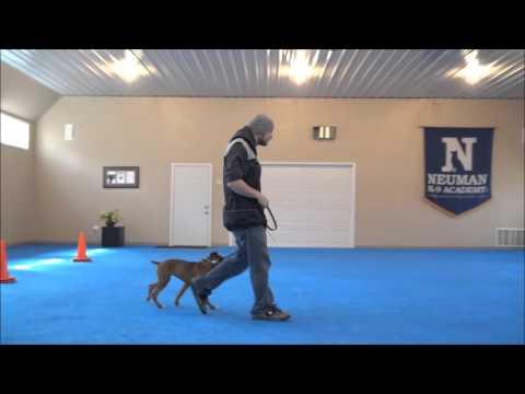Pebbles (Boxer) Puppy Camp Dog  Training Graduate
