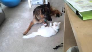German Shepherd And White Cat Playing