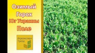 Озимый горох на Юге Украины 23 мая 2018