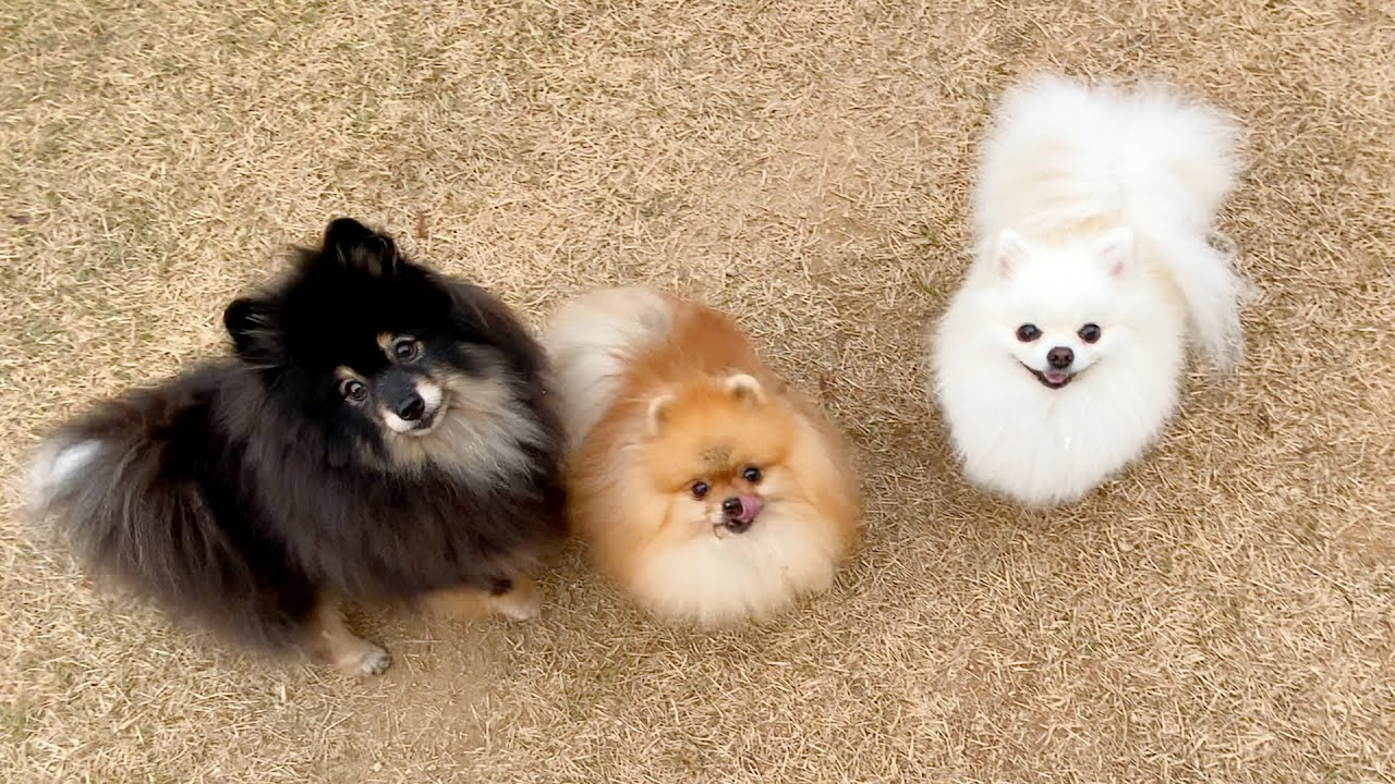 솜사탕 만들 재료들 : 흑설탕, 각설탕, 흰설탕| Pomeranians are giving me a heart attack 😭 Super-sized cotton ball