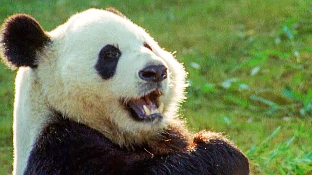 The Celebrity Panda | Walk On The Wild Side | Funny Talking Animals | BBC Earth