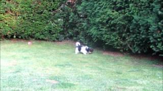 Biewer-yorkshire-terrier Zu Verkaufen (01.07.12).wmv