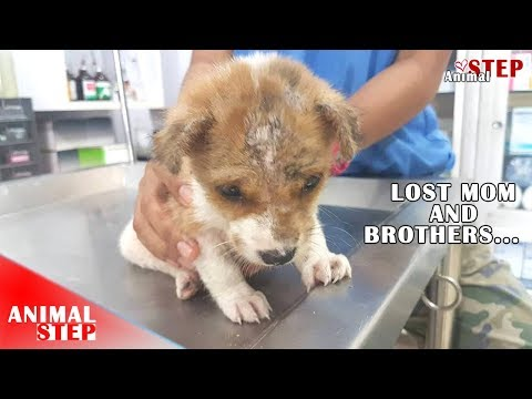 Saddest Puppy Dragging Alone On The Street For Foods After Being Lost Mother And Brothers