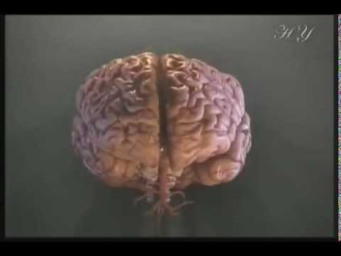 Урок Нервная система - Презентация 5680