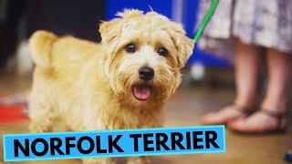 Norfolk Terrier  TOP 10 Interesting Facts