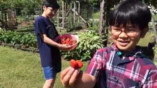 Backyard Organic Strawberry Picking By Aiman Hizami (Part 1) - Grow Your Own and Reap What Your Sow