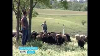 На Кубани все популярнее становится разведение овец