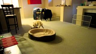 Golden Retriever Puppy With The Zoomies Running Around The House Like Crazy!