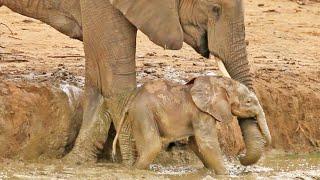 Elephant Herd Helps Rescue a Baby That's Stuck in a Waterhole