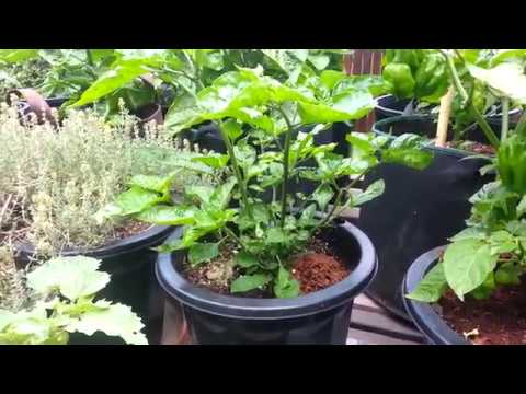 Growing hot peppers - Scotch Bonnets, Carolina Reapers, Moruga, etc.
