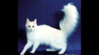 Ангорская кошка, или турецкая ангора (Turkish angora) породы кошек( Slide show)!